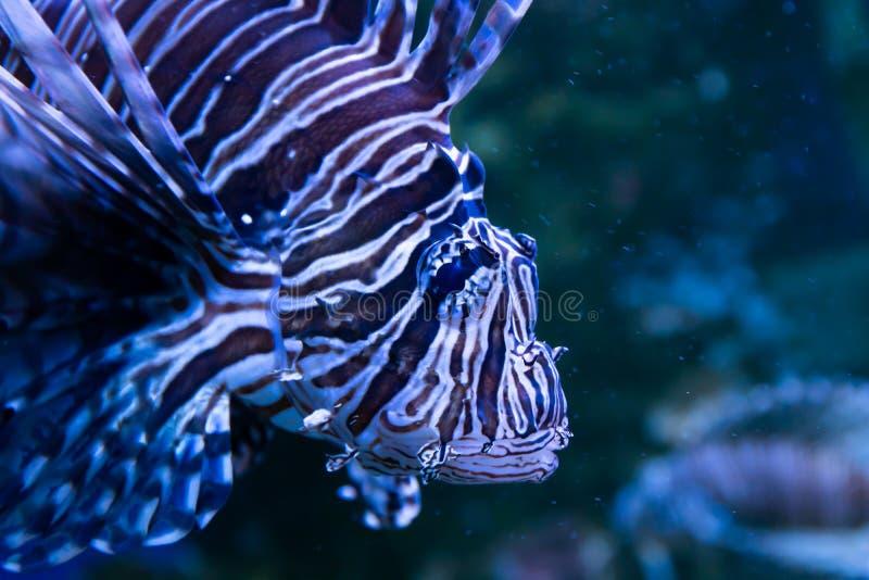Lionfish Θαυμάσιος και όμορφος υποβρύχιος κόσμος με τα κοράλλια και τα τροπικά ψάρια στοκ φωτογραφία