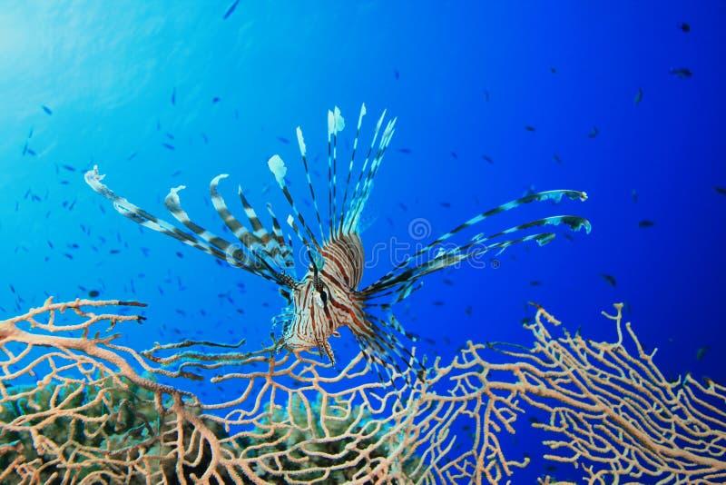 lionfish вентилятора коралла стоковая фотография