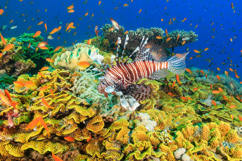 Lionfish и тропические рыбы на коралловом рифе стоковые фотографии rf