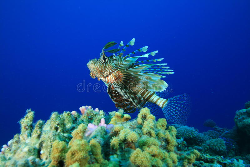 lionfish коралла стоковое изображение rf