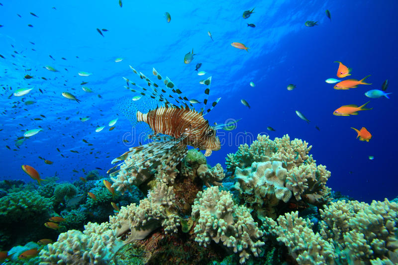 lionfish коралла стоковые изображения