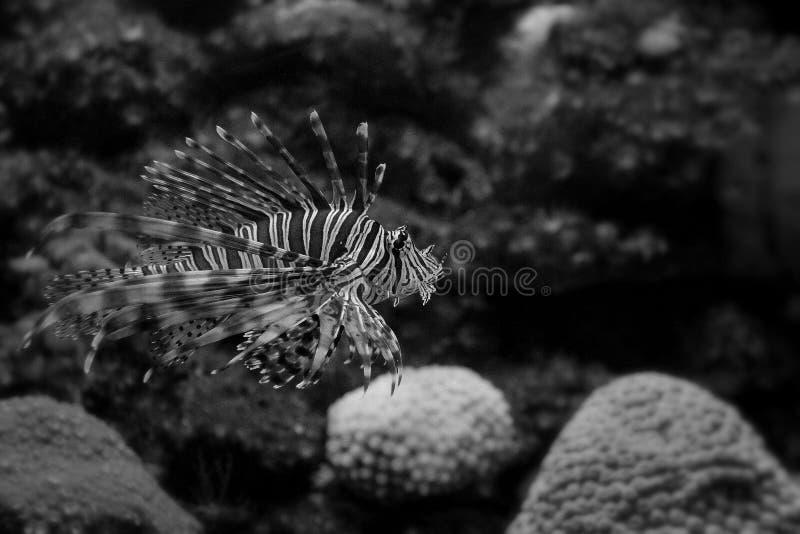 Lionfish stock fotografie