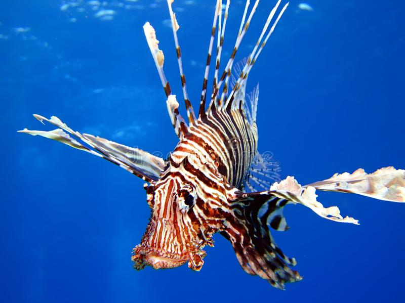 Lionfish imagem de stock royalty free