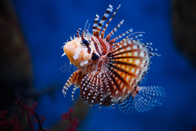 Lionfish imagenes de archivo