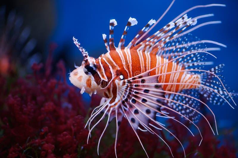Lionfish imagens de stock