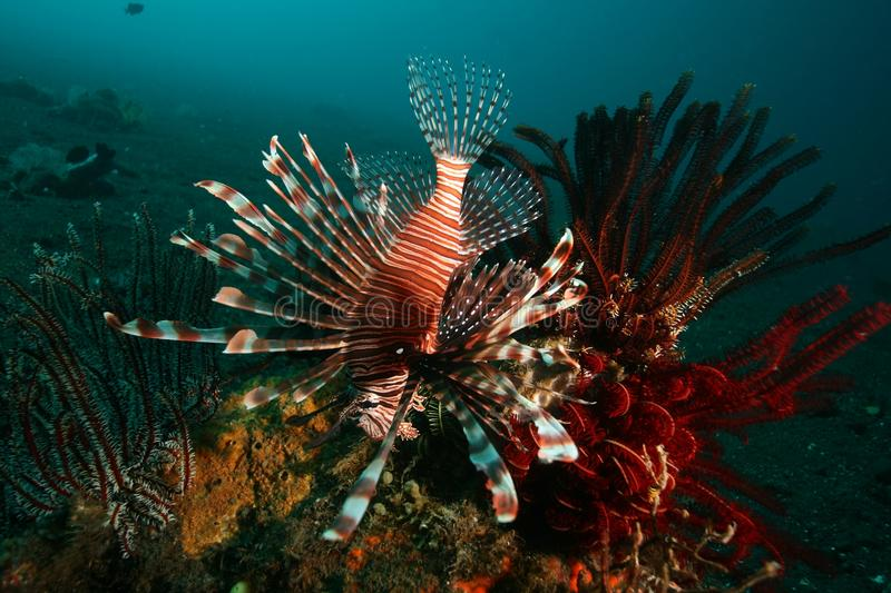 Lionfish stock photography