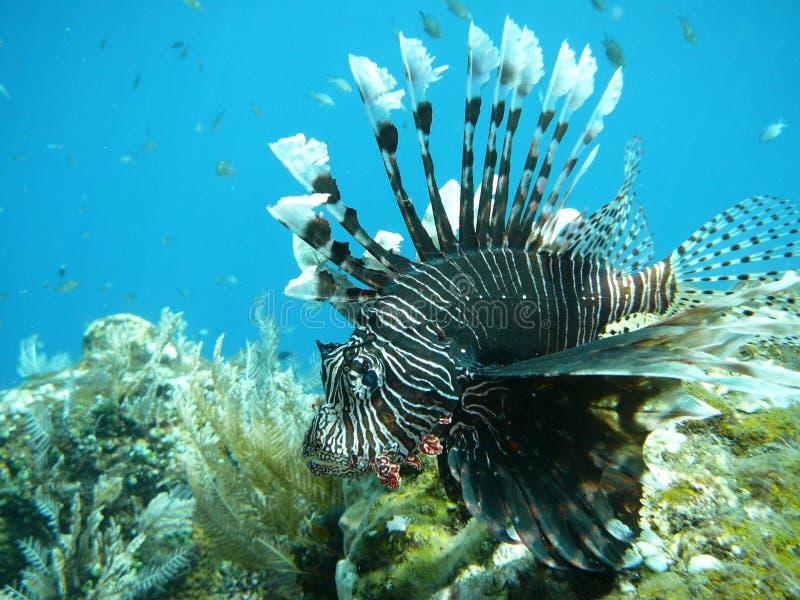 Lionfish immagine stock