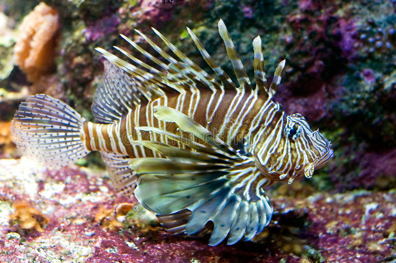 Lionfish photo libre de droits