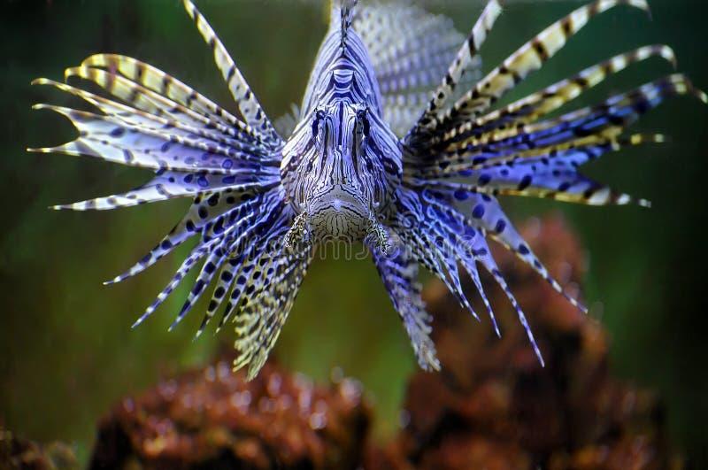 Lionfish royalty-vrije stock afbeeldingen