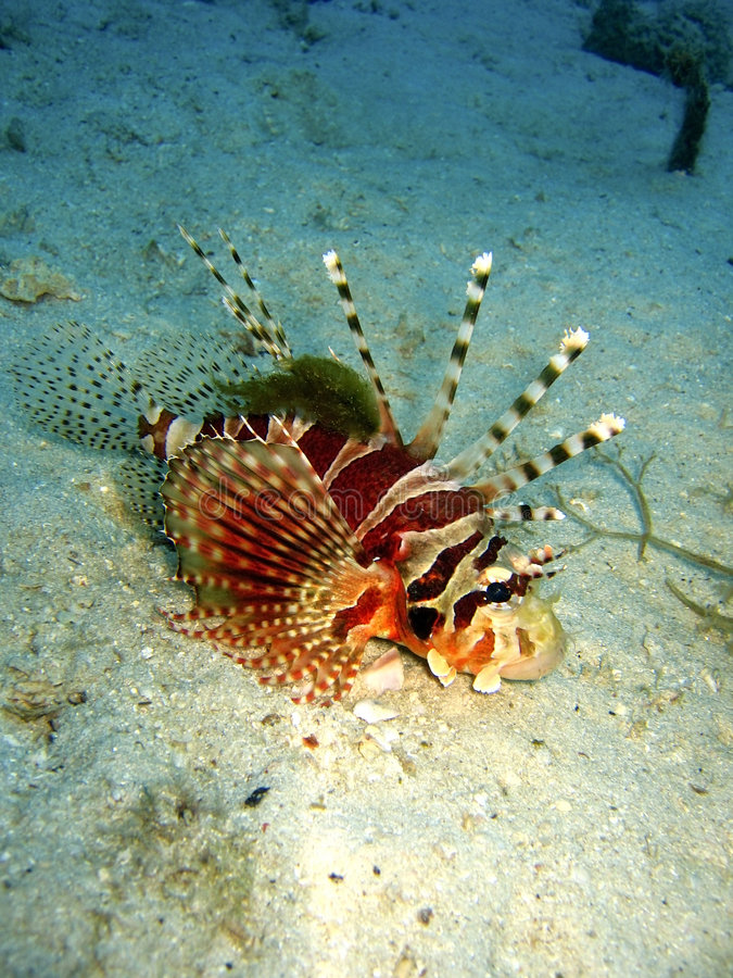 Free Lionfish Stock Photography - 217272