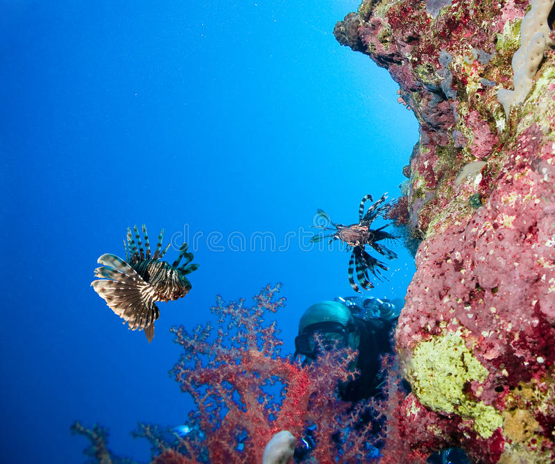 Lionfish στοκ εικόνα