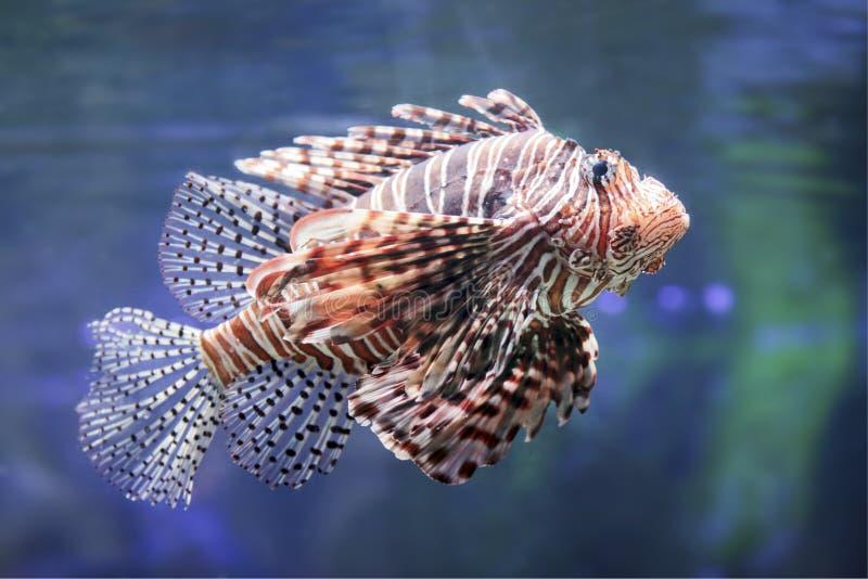 Lionfish. royalty free stock photos