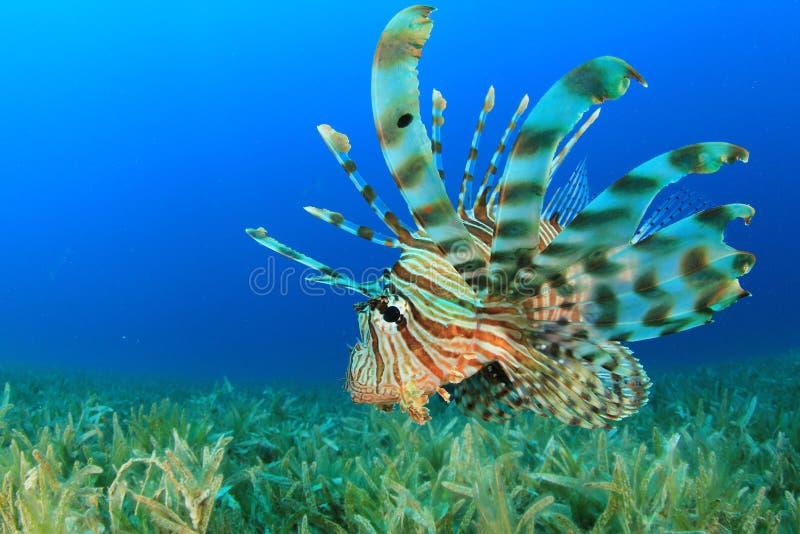 Lionfish stock afbeeldingen