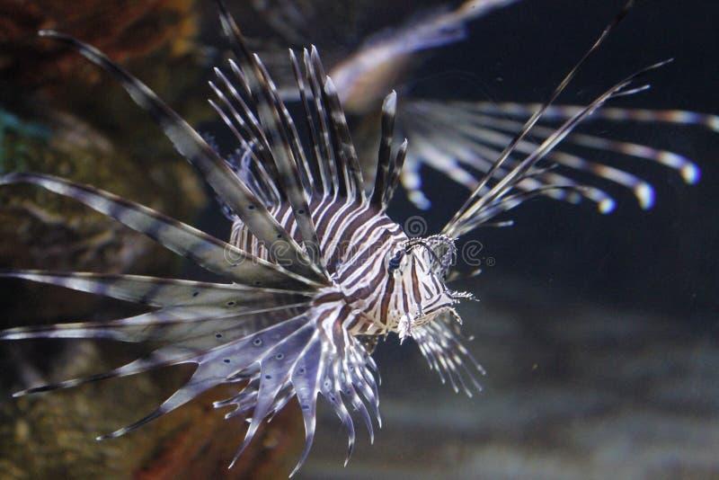Lionfish image libre de droits