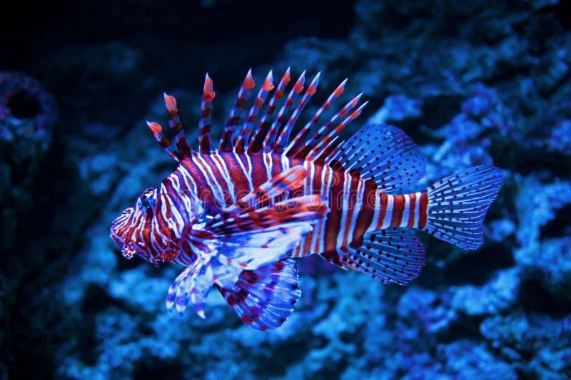Lionfish royalty-vrije stock fotografie