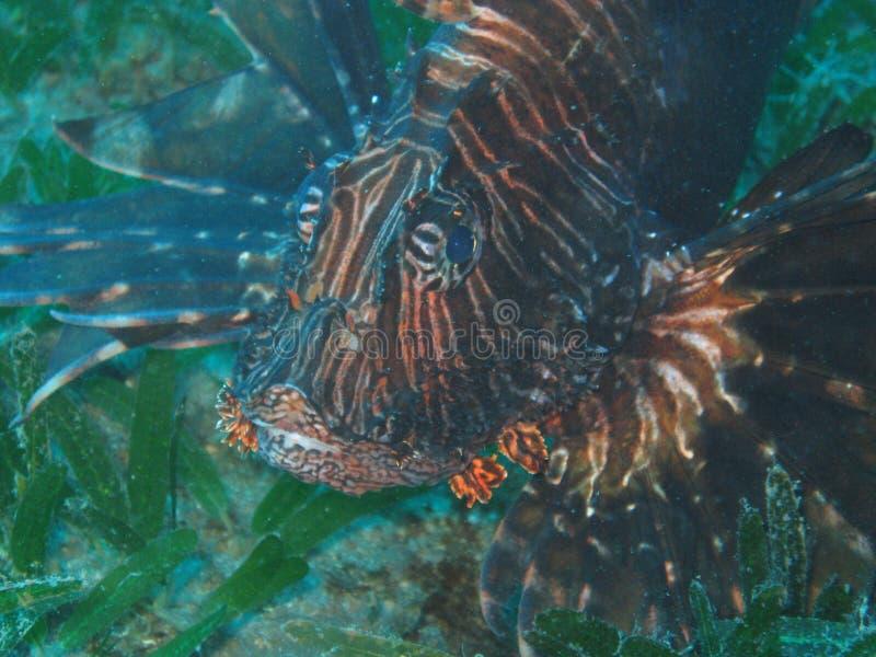 Lionfish fotos de archivo libres de regalías
