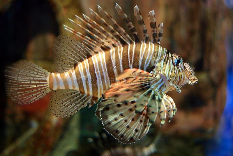 Lionfish stock photos