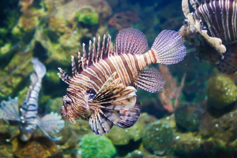 Lionfish obraz stock