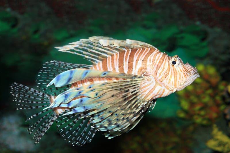 Lionfish stock foto's