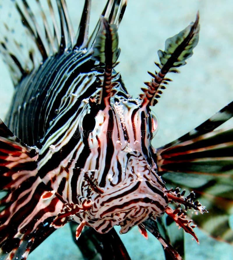 Lionfish images libres de droits