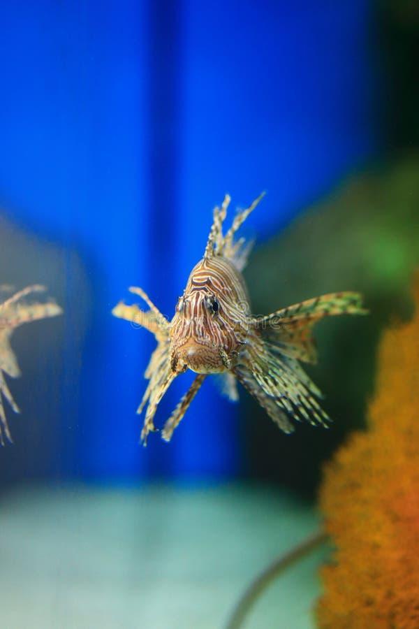 Lionfish lizenzfreies stockfoto