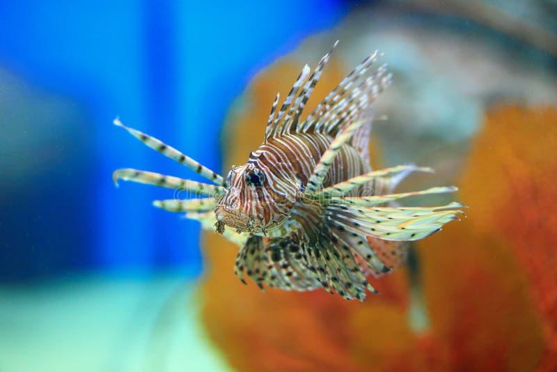 Lionfish stockbild