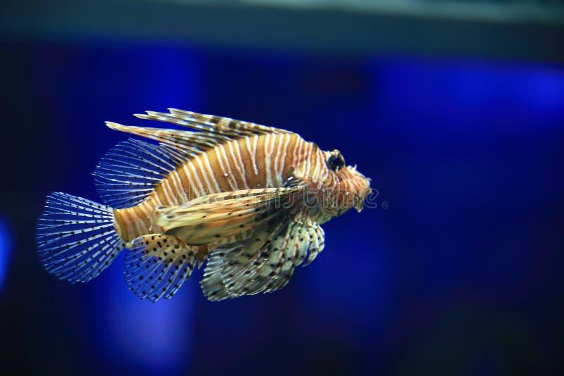 Lionfish stockfotos