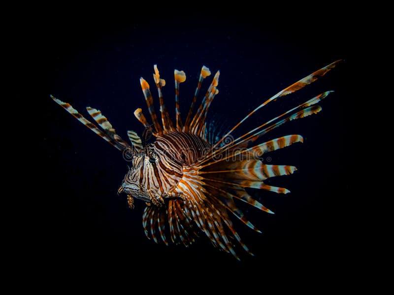Lionfish stockfoto