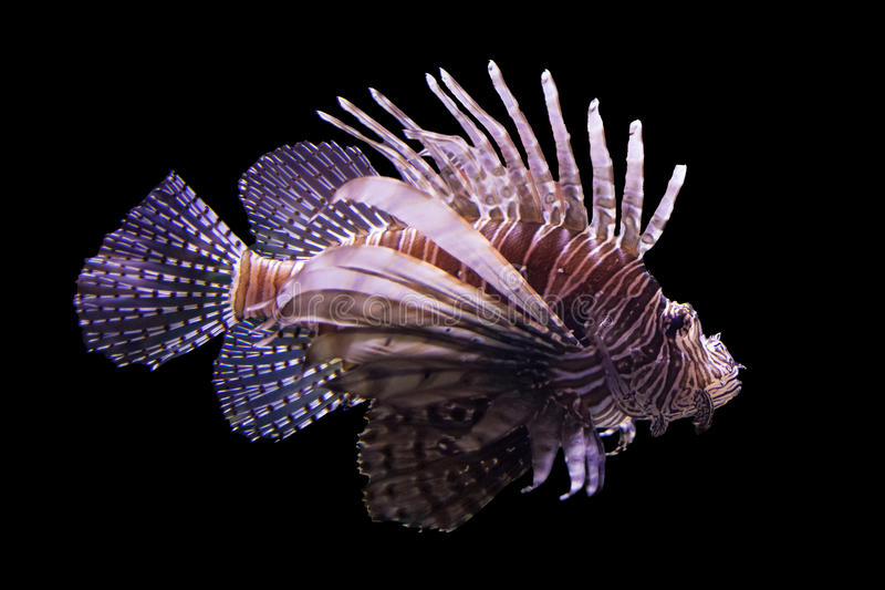 Lionfish fotografia de stock royalty free