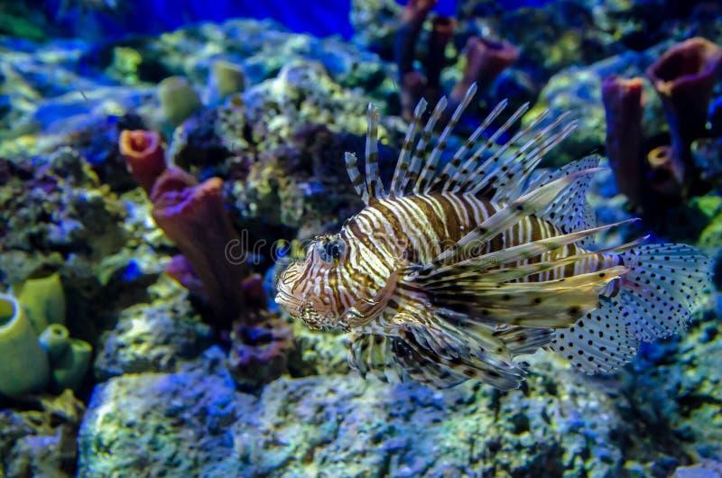 Lionfish royalty-vrije stock foto's