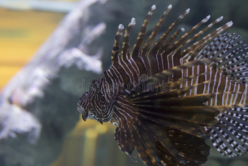 Lionfish fotos de stock royalty free