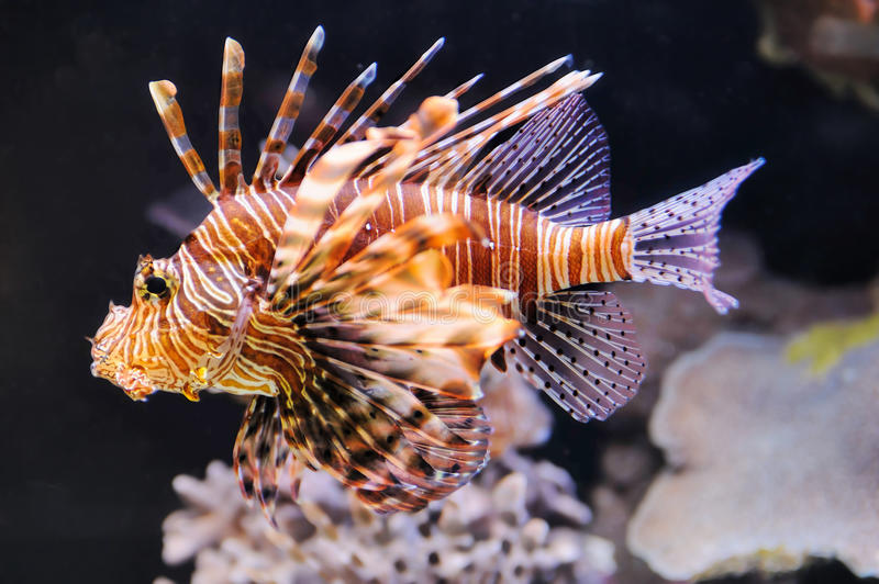 Lionfish fotos de stock royalty free