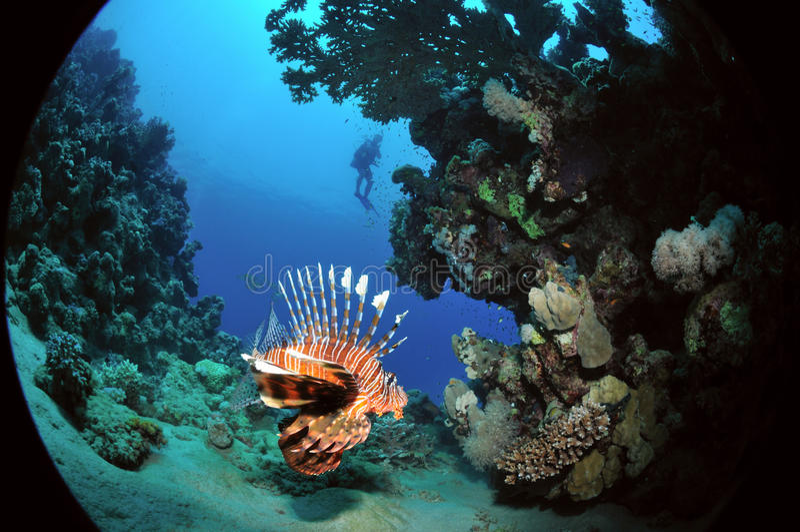Lionfish africano foto de stock
