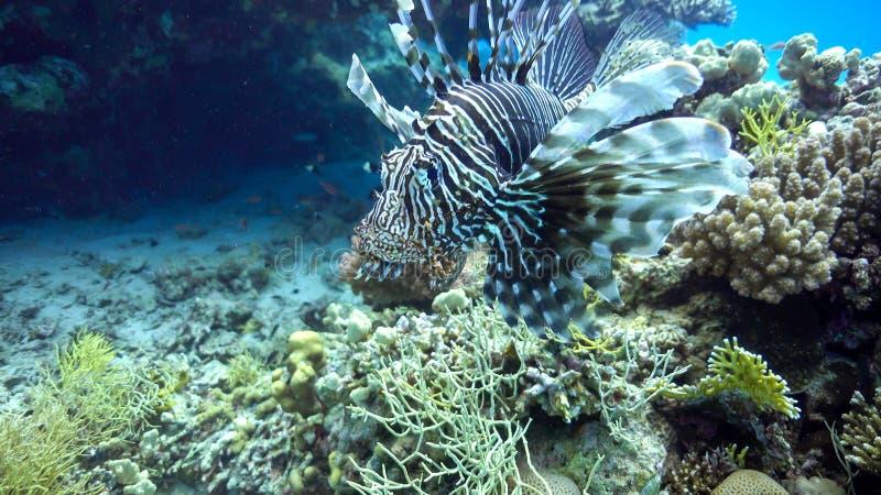 Lionfish africano em Coral Reef imagens de stock