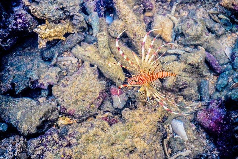 Lionfish auf Korallenriff im Meer lizenzfreie stockfotografie