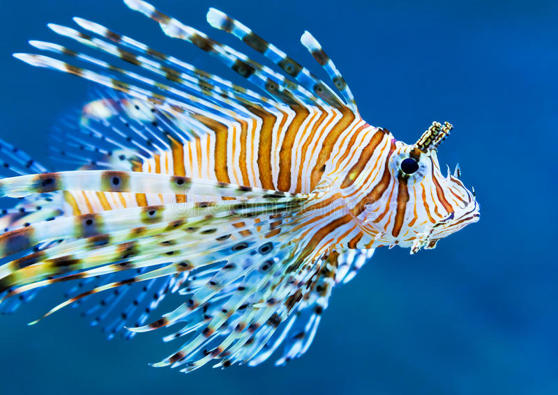 Download Lionfish in blue water stock image. Image of resort, color - 23956437