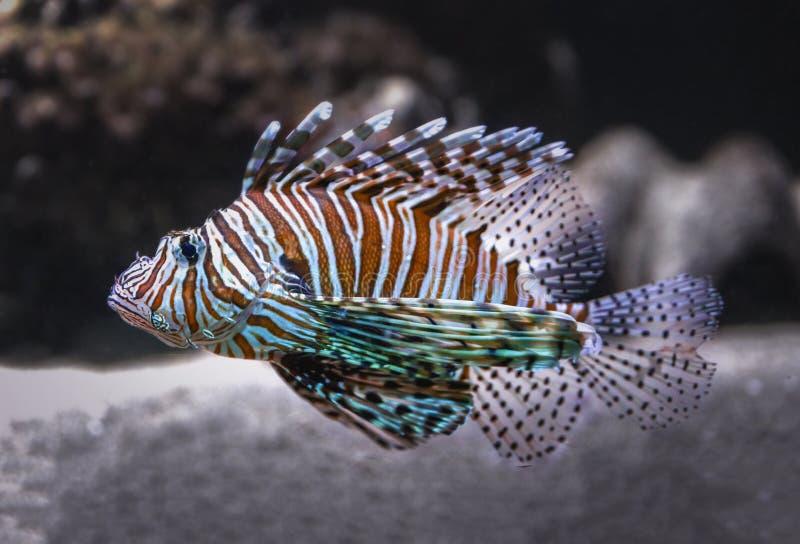 Lionfish bonito no mar fotografia de stock