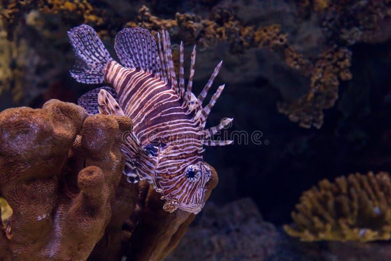 Lionfish coloré par eau du fond dans l'aquarium photo stock