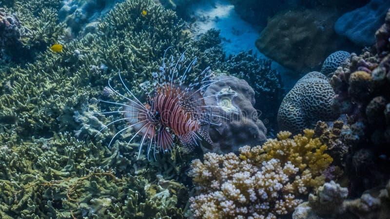 Lionfish colorido en un filón bajo foto de archivo