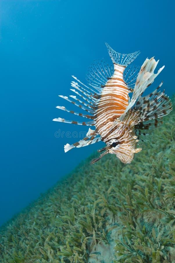 Lionfish commun planant près du fond de la mer. image stock