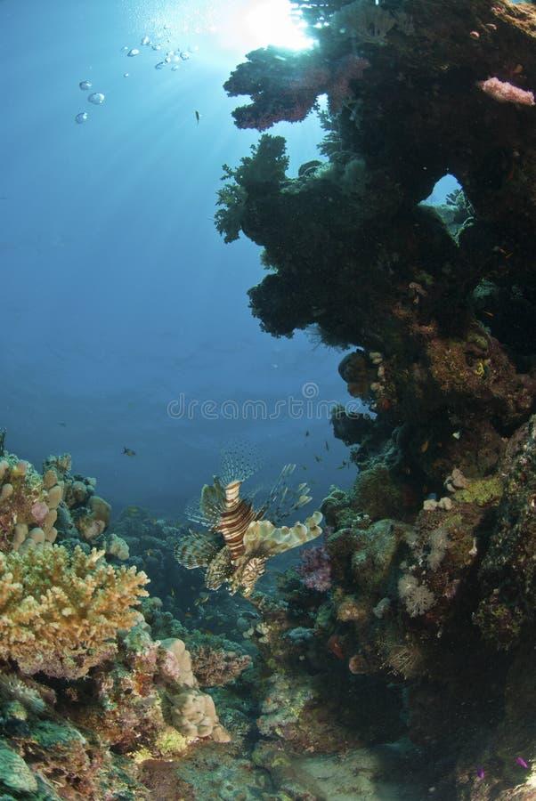 Lionfish de exploração imagem de stock
