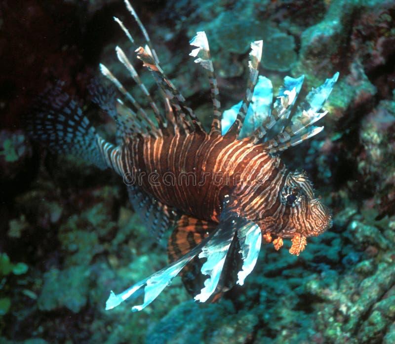 Lionfish de Fiji fotografia de stock