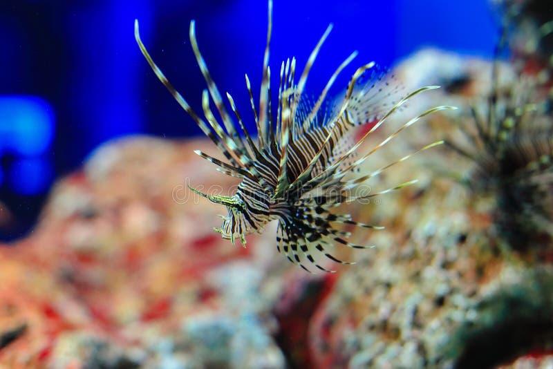 Lionfish de Radiata fotografia de stock