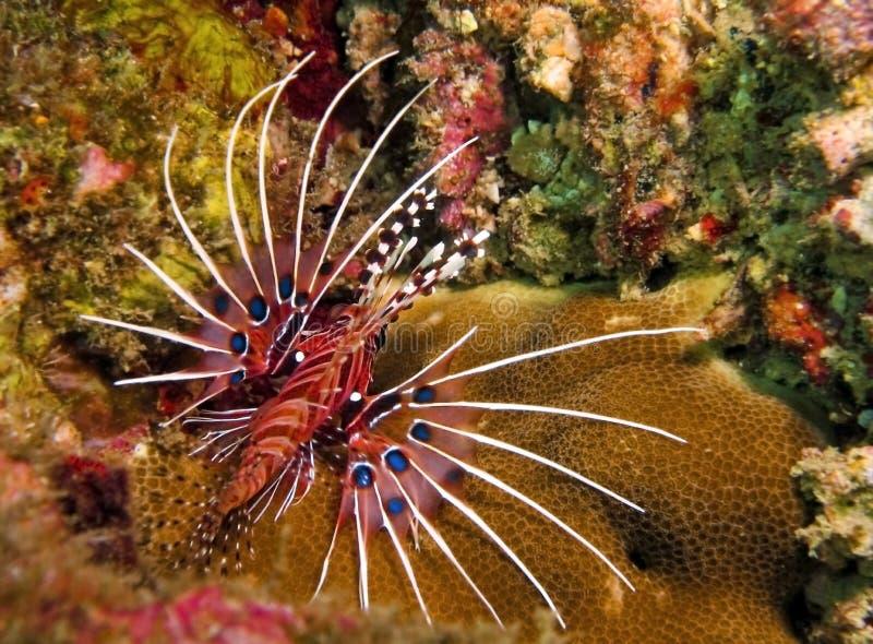 Lionfish de Spotfin imagem de stock royalty free