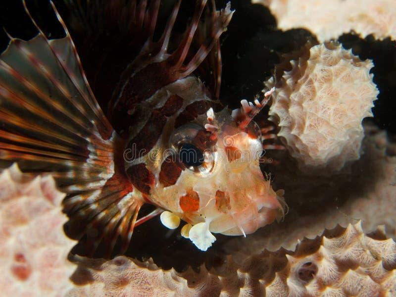 Lionfish de zèbre photographie stock libre de droits