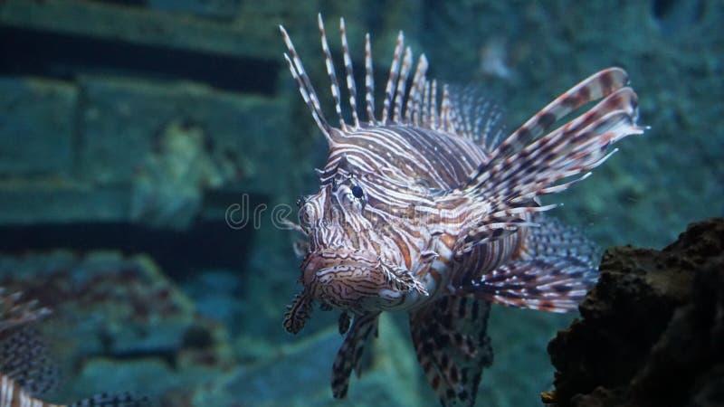 Lionfish di pterois volitans, pesce velenoso della barriera corallina fotografie stock