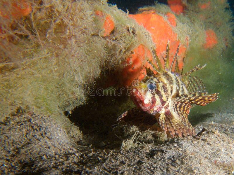 Lionfish do anão em um de meus locais macro do favorito em Sulawesi norte, molhe do paraíso, perto de Pulisan, Indonésia maravilh fotos de stock