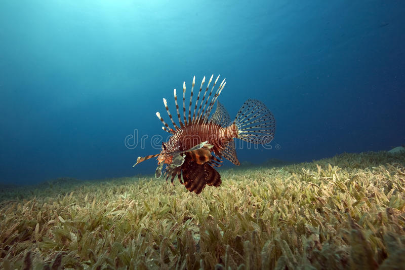 Lionfish e grama do mar imagem de stock royalty free