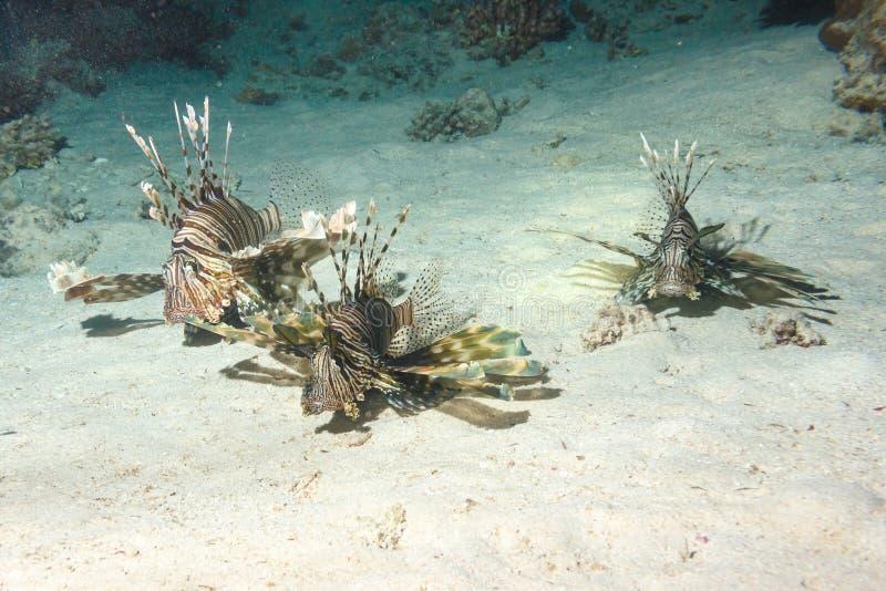 Lionfish em uma caça da noite imagem de stock