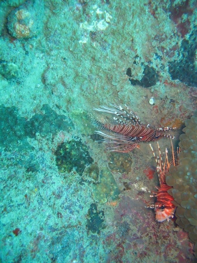 Lionfish escondendo   imagem de stock